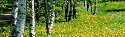 Brzoza – święte drzewo Słowian